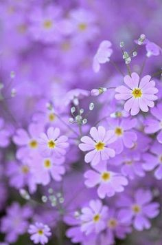 ..⭐.. lavender . flowers ..⭐..