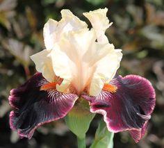 TB Iris germanica 'Taste The Magic' (Blyth, 2004)