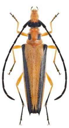 Eustrangalis distenoides