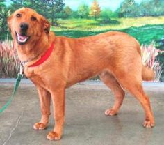 Bear is an adoptable Golden Retriever Dog in Ocean Shores, WA. My name is Bear and I am a very handsome 8 month old Golden Retriever mix with a perfect Golden Retriever personality.   I never met a hu...