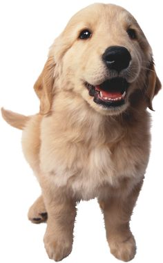 Puppy! Retriever!