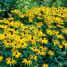 Goldsturm Black Eyed Susan brings a burst of showy color to the full-sun garden. Golden yellow, daisy-like petals surround nectar-rich, brown center buttons set atop deep green foliage. Unbothered by most pests, poor soils, drought and humidity, Goldsturm is easygoing and the perfect addition to flower arrangements and pollinator gardens. Deer resistant and long-lasting. (Rudbeckia fulgida)