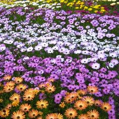 A rainbow of easy-to-grow Osteospermum blossoms