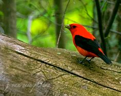 Scarlet Tanager, male ~ Piranga olivacea ~ Scio Woods Preserve, Michigan | by j van cise photos