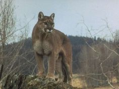 Panther Totem, a cougar, mountain lion, or puma is considered a panther in the animal spirit guide world...