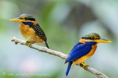 Rufous-collared Kingfishers (female and male) | Flickr - Photo Sharing!