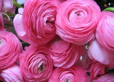 hot pink ranunculus the sisters to peonies My Flower, Pink Flowers, Beautiful Flowers, Ranunculus Flowers, Romantic Flowers, Pink Petals, Lavender Flowers, Pink Peonies, Simply Beautiful