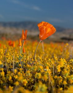 Antelope Valley Poppy