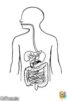 Página Para Colorear De Sistema Digestivo Medi Cos Humà