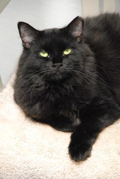 Featured Furkid – Dani 12173      Dani was rescued by a Furkids volunteer. She is a beautiful medium haired black kitty at about 1-year-old. Dani is a little shy at first, but a very sweet loving girl. She head butts and purrs for attention. Dani gets along well with other cats! Please consider adopting Dani today.