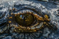 """#awesome @life_throughmyeyes  Staring into the Eye of a Dinosaur - A 500 lb alligator in St Augustine FL looks at the """"dinosaur"""" taking his photo. Look closely into his eye and you can see another dinosaur (me) keeping my distance. #staugustine #staugustineflorida #florida #floridahistoriccoast #floridagator #alligator #travel #animals #pets  #staugustinealligatorfarm #nature #wildlife #reptile #nofilter"""
