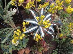Kalanchoe sexangularis blooms.