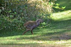 Sammy, the first Takahe chick to hatch at Wairakei Golf + Sanctuary. Photo taken by Neil Moffat, January Fallow Deer, S Icon, Guinea Fowl, Safe Haven, January 2016, Predator, Color Mixing, Wildlife, Golf
