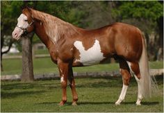This champion cutting horse, Like A Diamond, is probably quarter horse. But the people in charge don't like white markings. Arbitrary and stupid, imo. American Paint Horse, American Quarter Horse, Most Beautiful Animals, Majestic Animals, Beautiful Horses, Quarter Horses, Cutting Horses, Tennessee Walking Horse, Gypsy Horse