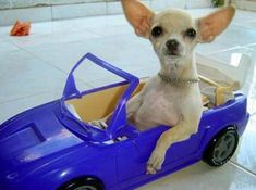 Funny Chihuahua Pictures with Captions | Funny Chihuahua