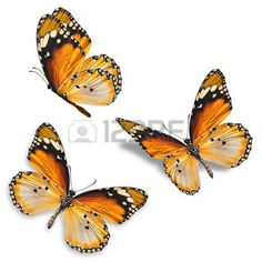 butterfly: Three orange butterfly isolated on white background Stock Photo