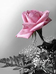 Pink Petals Carlos Caetano
