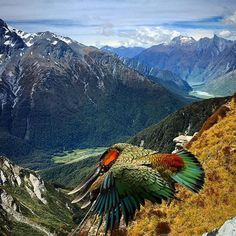 The kea are NZ's South Island alpine parrot. This one was caught flying in Mt Aspiring National Park. Love this pic by Nz South Island, Funny Birds, War Photography, Reptiles And Amphibians, Love Pictures, Adventure Is Out There, Australia Travel, What Is Like, Pet Birds