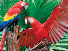 What's better than one Scarlet Macaw? Try two, especially when one has wing's fully spread. If you love wildlife, the vibrant hues of these extra large parrots will dazzle you.Your whole family can enjoy piecing together Scarlet Macawbecause there are large pieces on the outside for the young ones, and small pieces on the inside for more experienced puzzlers! 400 Pieces -Finished size 26.75 x20.5. Released January 2013.