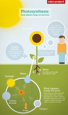 Photosynthesis diagram for kids: how plants help us to survive- Eden Project, Cornwall