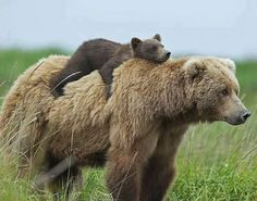 Momma Bear and baby bear : aww the Moms Bears Nature Animals, Animals And Pets, Animals In The Wild, Wildlife Nature, Large Animals, Beautiful Creatures, Animals Beautiful, Majestic Animals, Cute Baby Animals