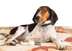 Treeing Walker Coonhound Hound Dog Lying Down On Human Bed With. Stock Photo, Picture And Royalty Free Image. Pet Dogs, Dogs And Puppies, Pets, Doggies, Dog Lover Gifts, Dog Lovers, Walker Hound, Treeing Walker Coonhound, Hound Dog