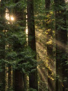 bluepueblo:        Sequoia Sunrays, Del Norte County, California        photo via shine