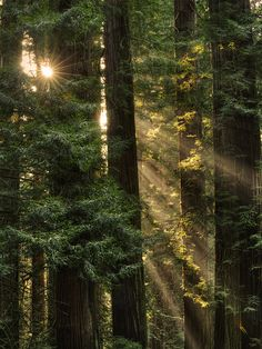 bluepueblo:        Sequoia Sunrays, Del Norte County, California        photo via shine