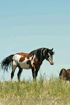 Stallion, Blackfeet Indian Reservation, Montana, sacred to Native Americans bay overo Mustang All The Pretty Horses, Beautiful Horses, Animals Beautiful, Native American Horses, American Paint Horse, Indian Horses, Painted Pony, Wild Mustangs, Horse Pictures