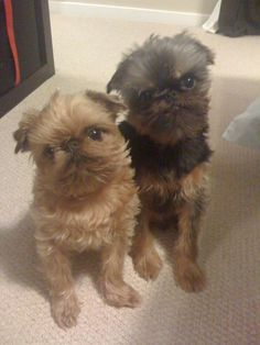 Brother and sister-Brussels griffons, can they be any more adorable?