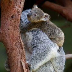 Koala Joey (Source: Ron Brasington) Time for a trip to the zoo @Kerry Richardson
