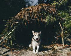 Fern Fort - Aldo the alaskan malamute in his fort of ferns.