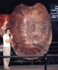 Fossil of the largest freshwater prehistoric turtle.