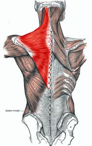Trapezius Muscle- Trapezius Myalgia, pain in this whole area is common in FM/CFS, is this a sister disease?