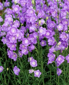 Genus: Campanula persicifolia Zones: 3-7 Bloom time: June; then six weeks later.  To prune: Snip spent flowers promptly, without removing developing buds. Good to know: In hot regions, this one fares best in partial shade.   - CountryLiving.com