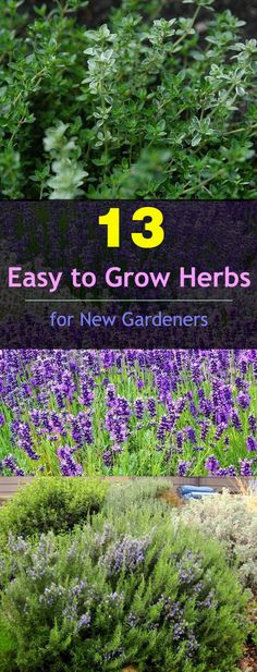 If you're new to gardening and planning to grow herbs then check out these 13 easy to grow herbs. All of them are low maintenance.