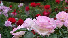 It& a beautiful world Flowers Gif, Pretty Flowers, Rare Flowers, Butterfly Flowers, Gifs, Beautiful Roses, Beautiful World, Beautiful Gif, Herbal Magic