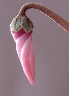 flower cyclamen - Google Search