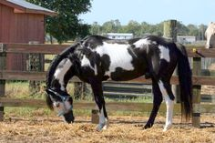 Beautiful overo paint horse
