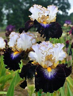 One of the most gorgeous irises I have ever seen! Almost unreal! ❤❤❤