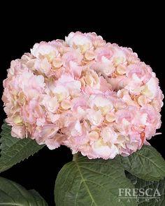 Airbrushed Light Pink Hydrangea