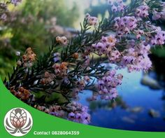 Did you know that Fynbos Essential Oils are rare and precious with fragrances that are very therapeutic?