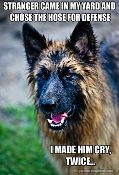 Wicked Training Your German Shepherd Dog Ideas. Mind Blowing Training Your German Shepherd Dog Ideas. Funny Animal Memes, Dog Memes, Funny Animal Pictures, Dog Pictures, Funny Dogs, Cute Dogs, Funny Animals, Dog Photos, Dog Funnies