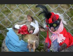 Best Dressed Dead Possum competition: only in New Zealand