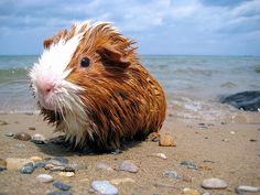Beach pig. guineapiggies: (via Kev Corbin)