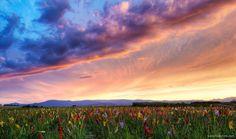 Campo de gladiolos. Alsacia. Francia / Gladiolus field. Alsace. France