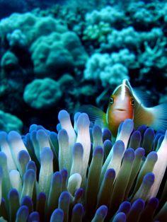 ^Clownfish, Great Barrier Reef, Australia