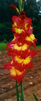 gladiolus: any of numerous plants of the genus Gladiolus native chiefly to tropical and South Africa having sword-shaped leaves and one-sided spikes of brightly colored funnel-shaped flowers; widely cultivated.