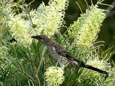 Little wattle bird takes nectar from grevillea 'moonlight'.