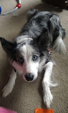 Daisy, my blue merle border collie